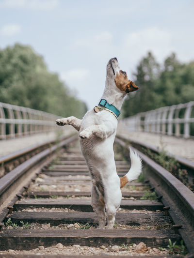 View of a dog on railroad track