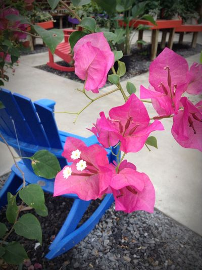 Things so beautiful are so often poisonous. Bougainville, with poisonous sap...