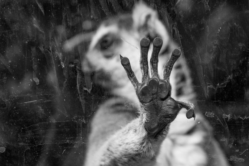 Close-up of lemur seen through glass