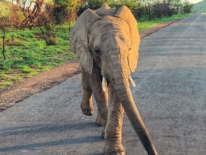 African Elephant Animal Themes Animal Animals In The Wild Animal Wildlife Elephant Mammal One Animal African Elephant Road No People Walking Sunlight Outdoors Animal Trunk