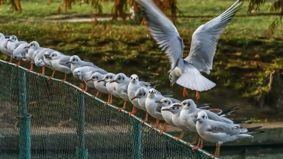 Seagulls perching on fence