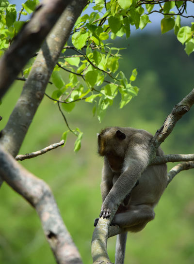 monkey sleeping on the tree Lovely Animal Wildlife One Animal Natural Colorful Beautiful Leaf Outdoors Monkey Trees Sleeping Funny View Background Copy Space Green Color One Animal Tree Branch Climbing Close-up Animal Themes