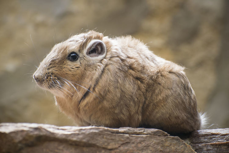 Animal Animal Themes Animal Wildlife Animals In The Wild Close-up Day Focus On Foreground Herbivorous Looking Looking Away Mammal Nature No People One Animal Outdoors Rock Rock - Object Rodent Side View Solid Vertebrate Whisker