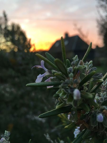 France Normandie Rosemary Flower Rosemary Herb Sunrise Growth Nature Plant Green Color Focus On Foreground Outdoors Beauty In Nature Flower Head Tree Sky Flower Fragility Day Close-up No People