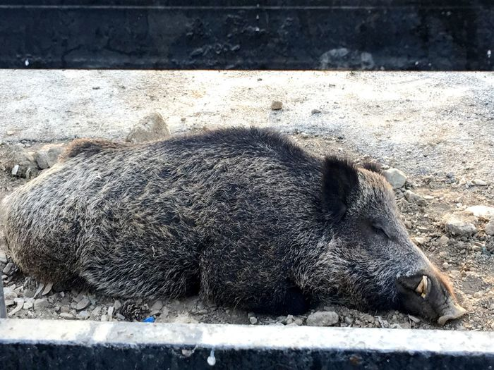 One Animal Animal Themes Animals In The Wild Day Pig Wild Boar Outdoors No People Mammal Animal Wildlife Close-up Nature TehranZoo ZooLife Zoology Wildlifephotography Wildlife & Nature Wildlife Photography Iran♥ Dreaming Sleeping Sleepy Wildlife Animals In The Wild Trapped