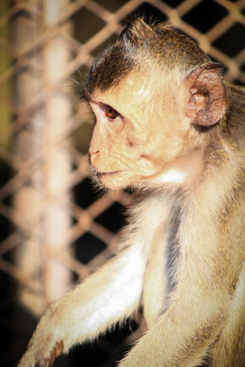 monkey Animal Eye Yellow Eyes Animal Nose Monkey Animal Hair Snout Animal Ear Animal Face Owl Orangutan Primate Gorilla Ostrich Cat Feline Whisker Lemur Ape Cage