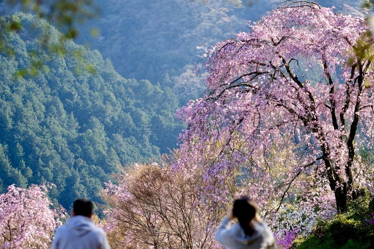 Rear view of people on cherry blossom
