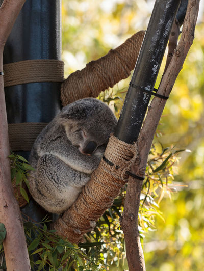 Low angle view of koala sleeping on wood