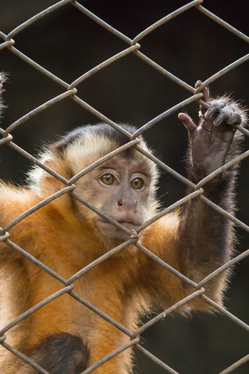 Gibbons in the cage. Black Background Feeling Hung Light Looking Through Cage. Mesh Cage Unhappy Affecting Animal Themes Animal Wildlife Animals In Captivity Brown Cage Caged Close-up Eye Gibbons Indoors  Mammal Metal Monkey No People Sight Wool Zoo