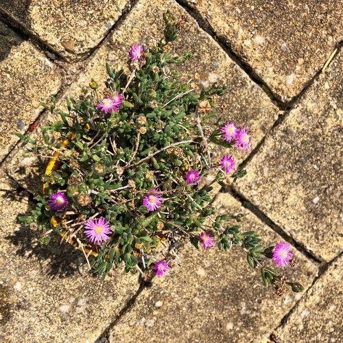 Succulent Plant Flowering Plant