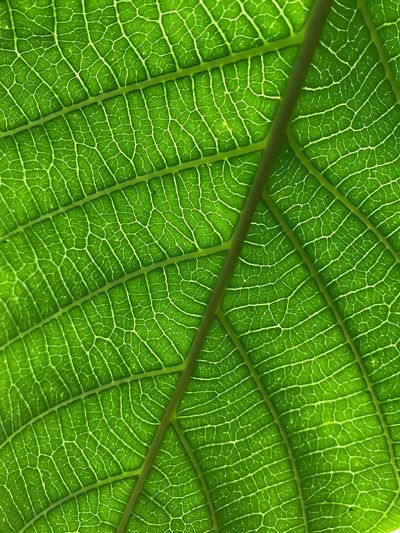 Leaf Plant Part Green Color Plant Full Frame Backgrounds Close-up Nature Beauty In Nature Leaf Vein Pattern No People Natural Pattern Textured