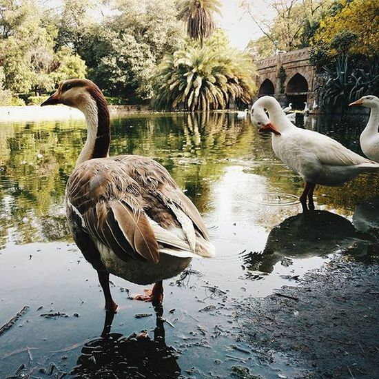 It was amazing to go early morning there and click so amazing pics. Earlymorning  Click Ducks Animal Motoxplay Vscocam Delhi Fun