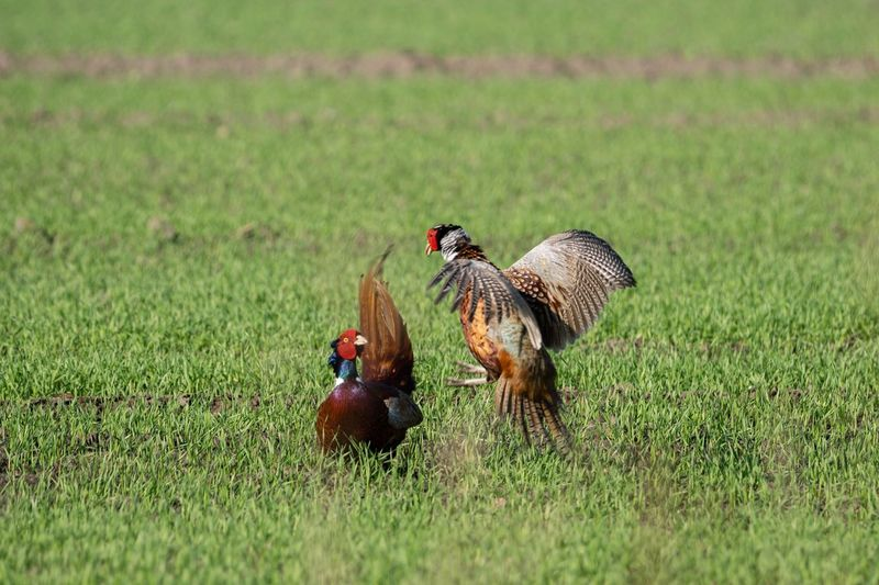 Fasanankampf Wildlife Pheasant Fasan EyeEm Selects Animal Themes Bird Animal Grass Plant Vertebrate Animals In The Wild Group Of Animals Two Animals Land Nature Mammal