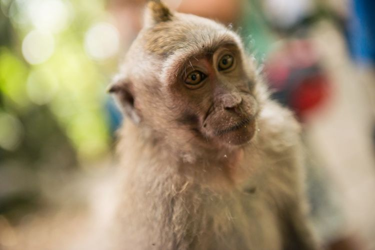 Bali Monkey 🐒 Sacred Monkey Forest Primate Primate Monkey Monkey Face Little Monkey Ubud Monkey Forest Ubud Nature Monkey Forest Ubud Balinese Culture Mammal Animal Themes One Animal Focus On Foreground Domestic Animals Outdoors Portrait No People Close-up Monkey Nature Day Looking At Camera