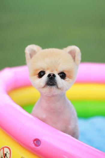 Chiwawa Puppy Cute Dog Pet Pool Rainbow Smart Phone