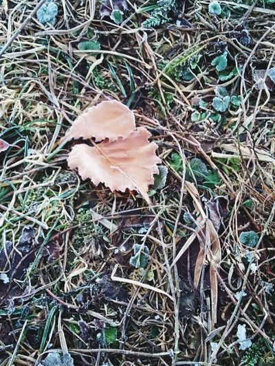 frozen brown leafs Field Grass Plants Frosty Nature No People Non-urban Scene Nofilter High Angle View Selective Focus Directly Above Outdoors Vulnerability  Natural Condition Frozen Grass, Ice Particles On Grass Textured Glass Frost Winterscapes December 2018 Frozen Nature Brown Leaves Leaf Close-up Grass Leaf Vein Dried Plant 2018 In One Photograph EyeEmNewHere Maple Leaf My Best Photo