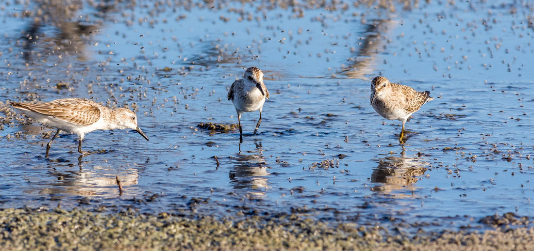 Stilt sandpipers perching in lake