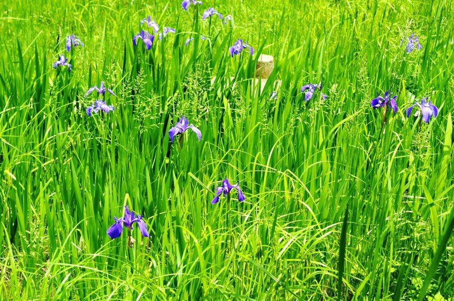 Flower Growth Grass Nature Green Color Field Beauty In Nature Plant Outdoors Fragility Day No People Freshness Poppy Flower Head Crocus あやめ Iris 岡崎 Lake Biwa Hydrophobic Memorial Hall Everyday everyday.