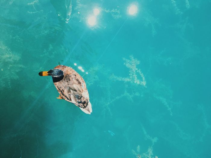 Duck over-head shot. Aerial View Animal Beauty In Nature Bird On Water Bird Photography Bright Clear Water Close-up Colors Duck Lens Flare Light Overhead Pretty Reflections Swiss Lake Switzerland Water