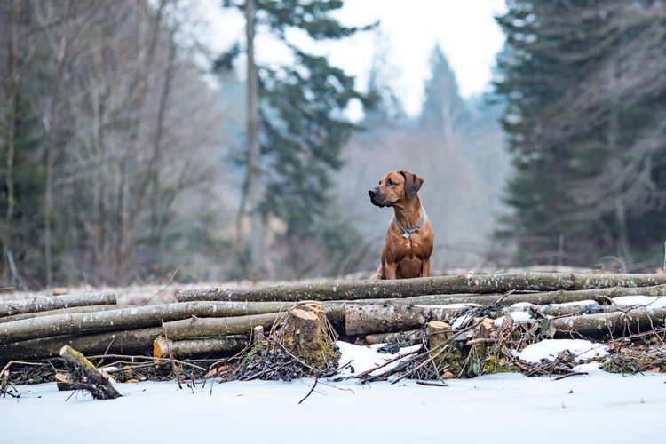 Dog by logs in forest during winter