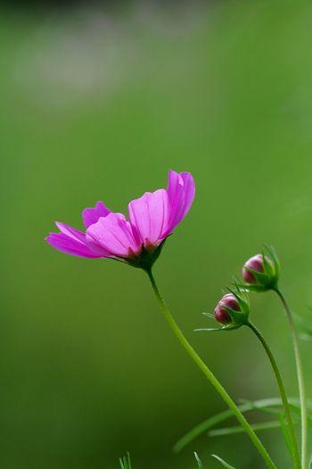 花 植物 コスモス フラワー 植物園