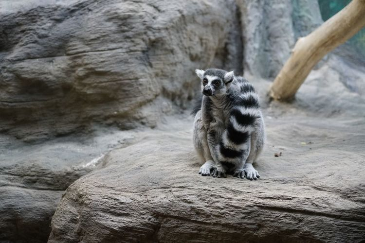 Maky Ring-tailed Lemur Strepsirrhini Lemur Catta Animal Themes Mammal Animal One Animal Rock - Object Rock Solid Animal Wildlife Focus On Foreground No People Vertebrate Feline Nature Cat Sitting Day Pets