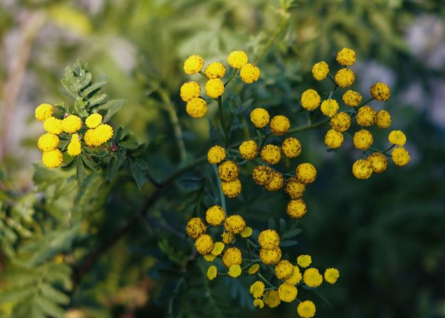 yellow dotted tansy wild flowers on green Autumn Dotted Field Green The Week On EyeEm Wildflower Backgrounds Beauty In Nature Blooming Botany Close-up Dots Flower Flower Head Fragility Freshness Growth Leaf Leaves Nature Outdoors Petal Plant Tansy Yellow