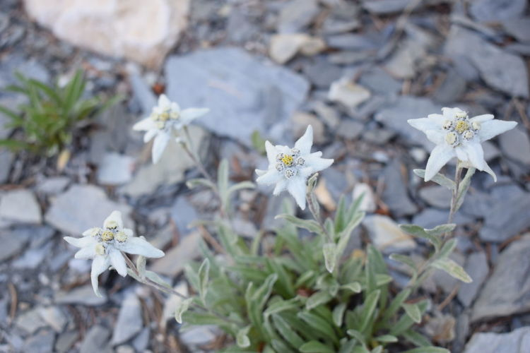 Edelweiss Edelweiss Flower Nature Plant Beautifull Edelweiss Flower Fragile Mountain White This Is Masculinity