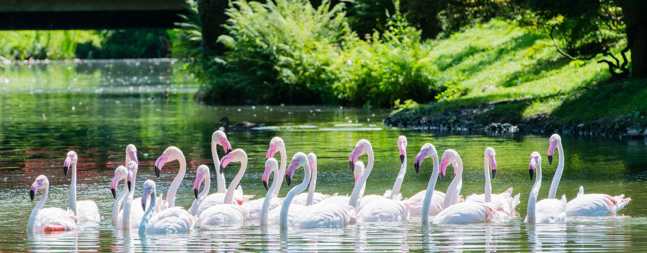 Flamingoes swimming on lake