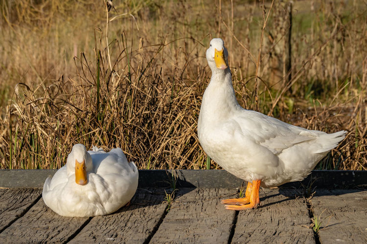 A pair of white pekin ducks resting on wooden decking at sunset Bird Animal Themes Animal Vertebrate Animal Wildlife Animals In The Wild Group Of Animals No People Day Nature Two Animals Wood - Material Poultry Duck Focus On Foreground White Color Land Outdoors Field Goose Beak Animal Family Pekin Duck Pekin Ducks Anas Platyrhynchos Domesticus Heavy Duck Heavy Ducks Pair Of Ducks Indian Runner Duck Peking Duck Peking Ducks Aylesbury Duck
