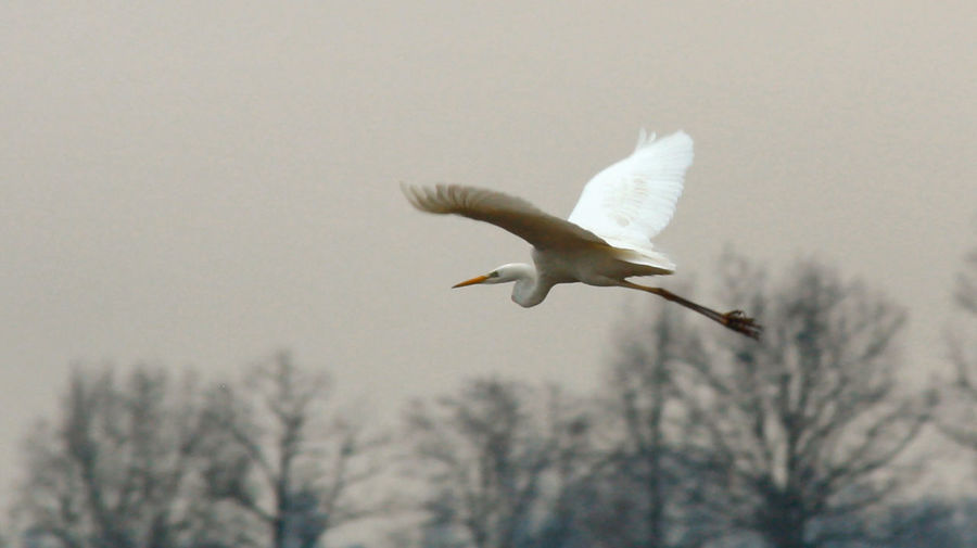 Great egret flying in mid-air
