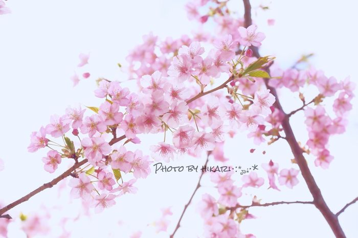 河津桜🌸 2 河津桜 桜 Cherry Blossom Flower Photo Photography Japan Japan Photography Flowers