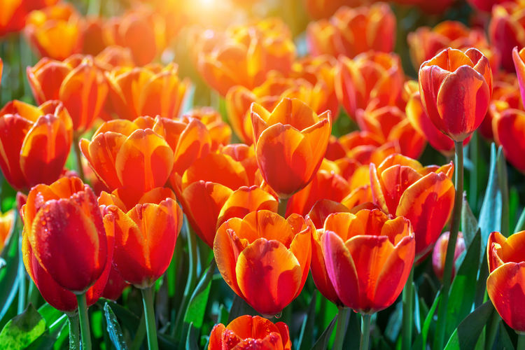 Tulip flower with green leaf background in tulip field at winter or spring day for postcard beauty decoration and agriculture concept design. Bunch Of Flowers Flowerbed Outdoors Botany Day Land No People Field Close-up Inflorescence Flower Head Growth Beauty In Nature Petal Freshness Vulnerability  Fragility Flowering Plant Landscape Park Natural Business Yellow Pattern Five Set Lit Bright Banner May Stem Bloom Sky Flora Blossom Postcard Romantic Vibrant Growing Sunlight Springtime Closeup Plant Summer Up Close Red Purple Green Design Color Floral Blue Garden Beauty Nature Beautiful Pink Flower White Colorful Bouquet Spring Flowers Background Tulip Tulips