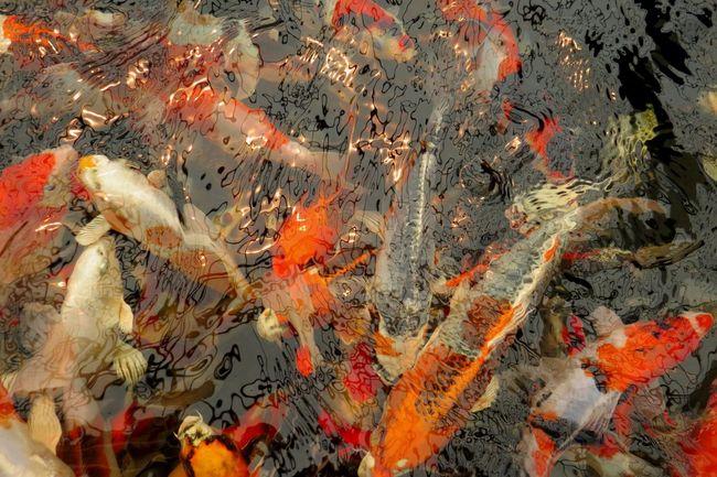 Pond Vivid Colours  Animal Animal Themes Animal Wildlife Animals In The Wild Beautiful Fish Carp Curiosity Fish Group Of Animals High Angle View Koi Carp Large Group Of Animals Marine No People Ornamental Fish Outdoors Pond Fish Pond Life School Of Fish Swimming Underwater Vertebrate Water