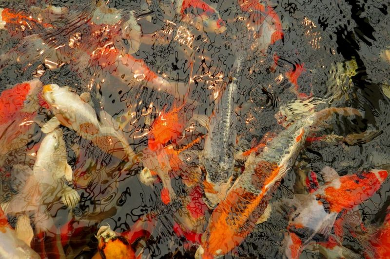 Pond Vivid Colours  Animal Animal Themes Animal Wildlife Animals In The Wild Beautiful Fish Carp Curiosity Fish Group Of Animals High Angle View Koi Carp Large Group Of Animals Marine No People Ornamental Fish Outdoors Pond Fish Pond Life School Of Fish Swimming Underwater Vertebrate Water