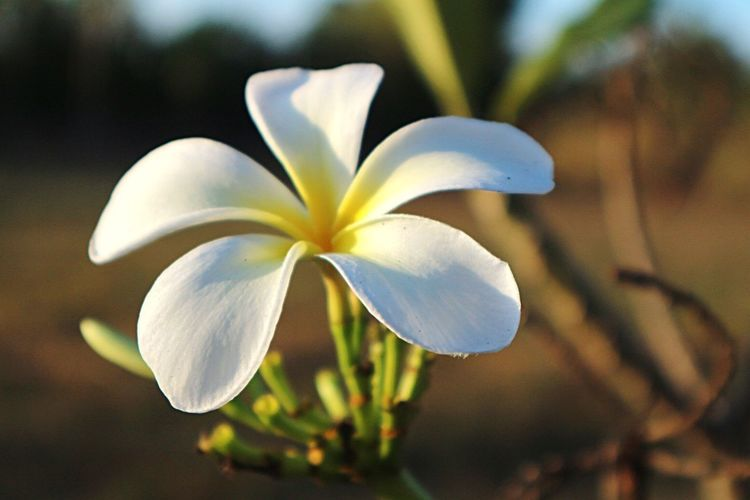 Flower Petal Focus On Foreground Flower Head Beauty In Nature White Color Close-up Nature Growth Fragility Freshness Blooming Day No People Plant Frangipani Outdoors