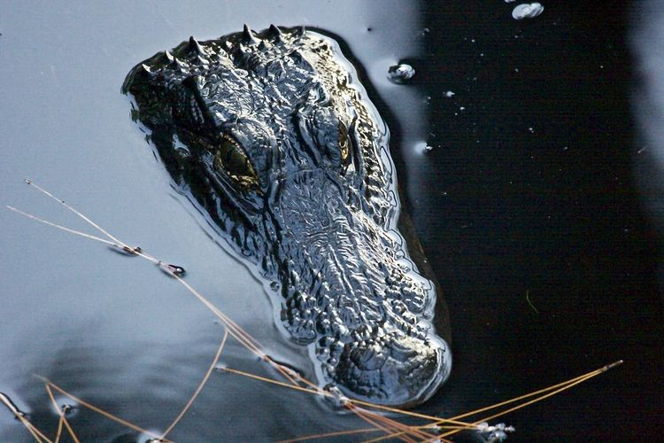 Close-Up Of An Alligator In Water