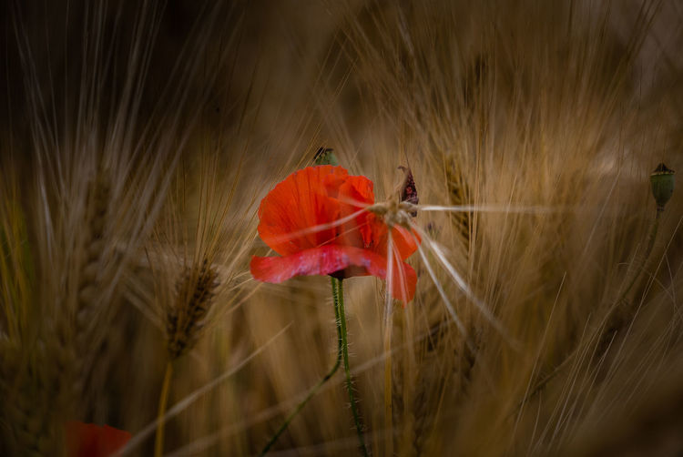Plant Fragility Vulnerability  Beauty In Nature Flower Freshness Flowering Plant Growth Close-up Red Field Nature Land No People Selective Focus Petal Flower Head Plant Stem Inflorescence Day Poppy Outdoors