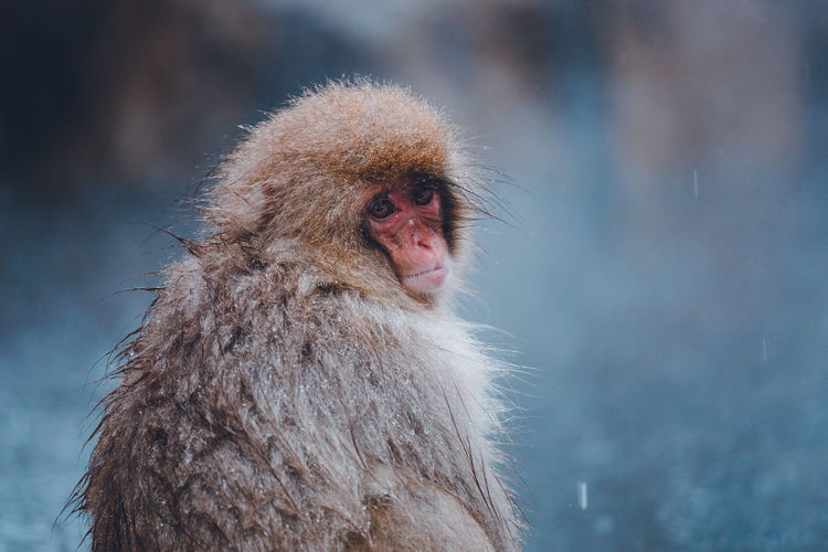Portrait of monkey sitting outdoors during snowfall