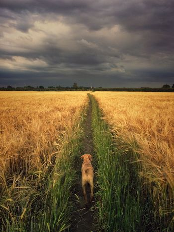 A lone Labrador retriever walking through a golden wheat field with black, stormy skies above. Sky Field Cloud - Sky One Animal Landscape Dog Nature Mammal Walking No People Animal Themes Pets Outdoors Domestic Animals Scenics Rural Scene Storm Cloud Storm Stormy Weather Storm Clouds Black Agriculture Wheat Field Dog Walking Dramatic Sky Lost In The Landscape