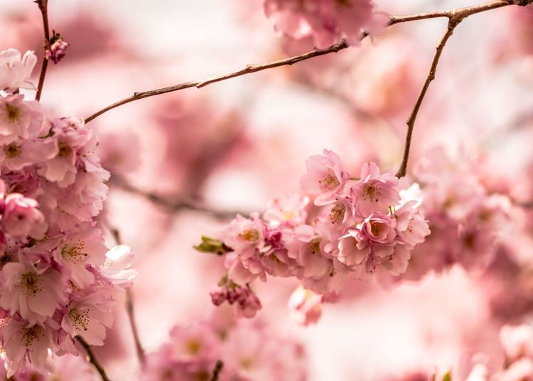 Pink Blossom EyeEm Selects Flower Flowering Plant Pink Color Plant Freshness Fragility Vulnerability  Blossom Beauty In Nature Tree Growth Springtime Branch Close-up Cherry Blossom Nature Petal No People Selective Focus Cherry Tree
