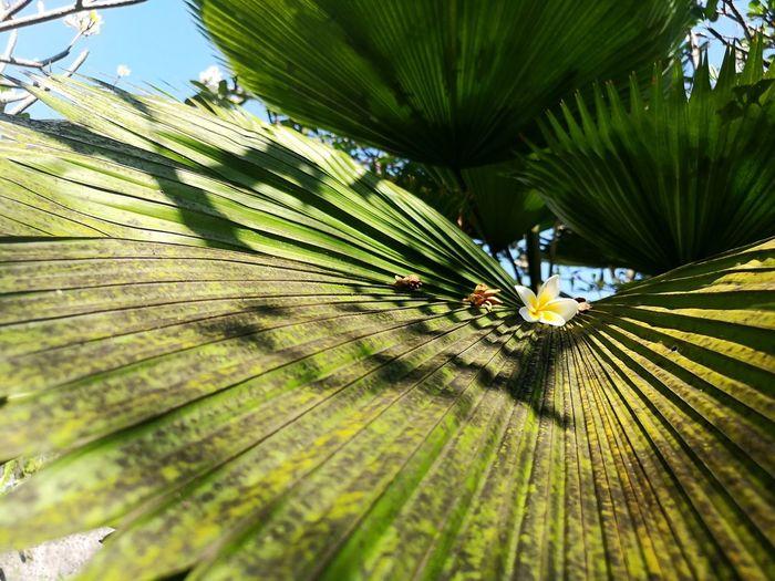 Palmtree🌴 Photography Bali Huawaishot Tree Palm Leaf Blooming Tropical Tree First Eyeem Photo