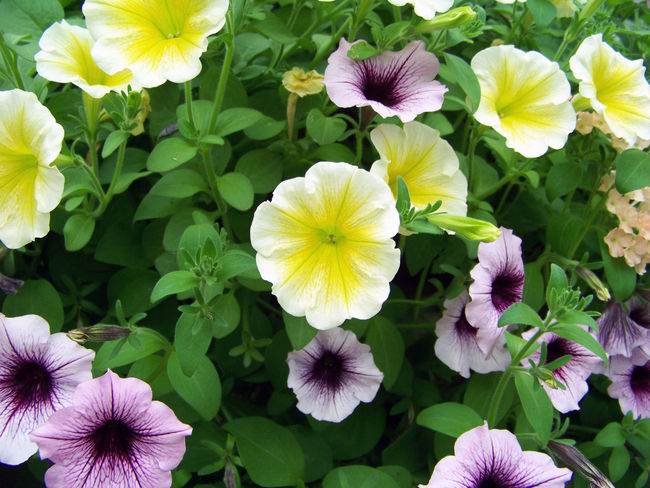 Beautiful Beauty In Nature Botany Close-up Colorful Delicate Flower Flower Head Fragile Fragility Freshness Green Growing In Bloom Living Plant Nature No People Outdoors Petal Petunia Plant Prettty Purple Springtime Yellow