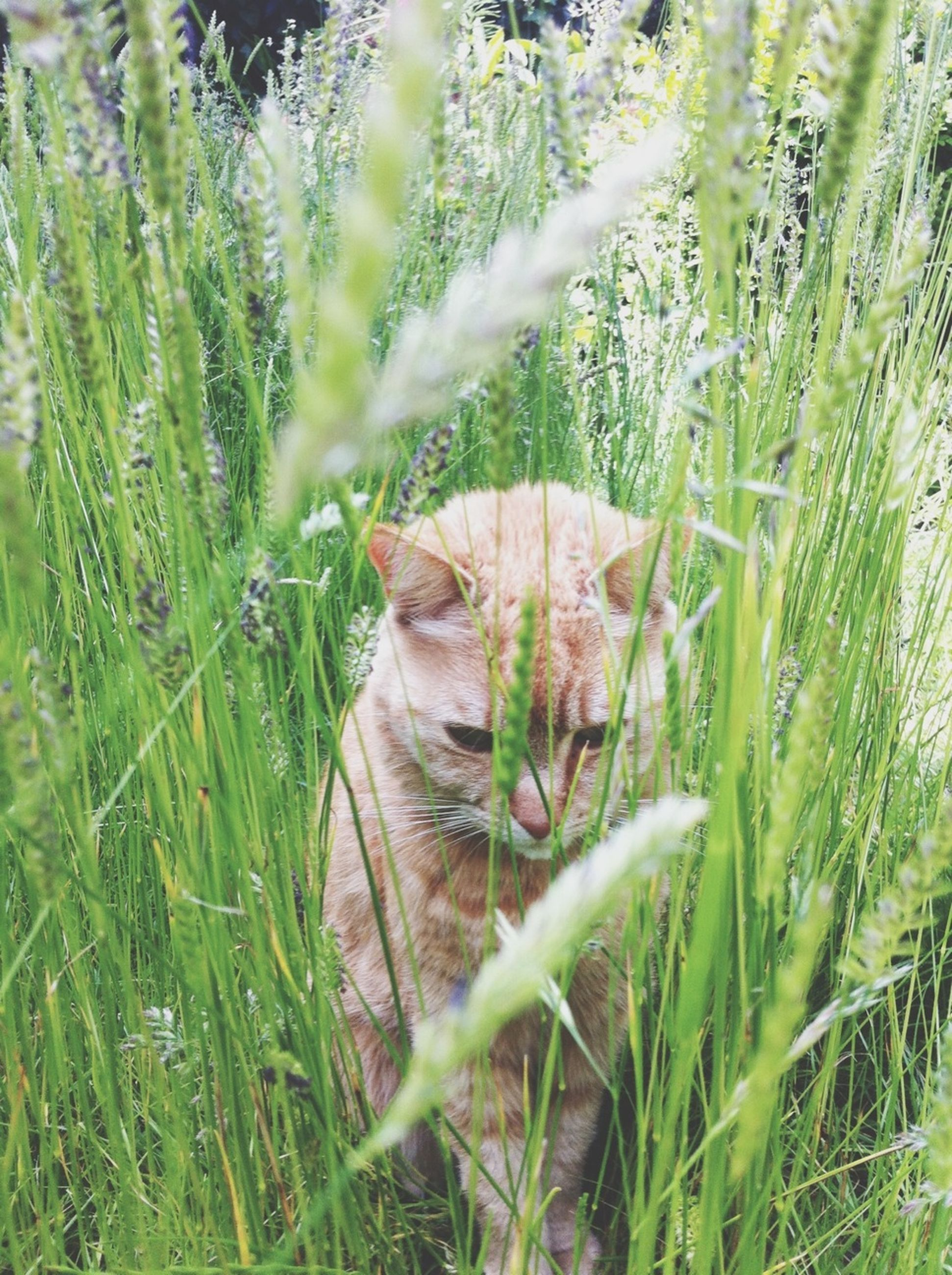 animal themes, mammal, one animal, grass, domestic animals, domestic cat, pets, cat, feline, plant, field, growth, relaxation, nature, whisker, grassy, green color, day, outdoors, no people