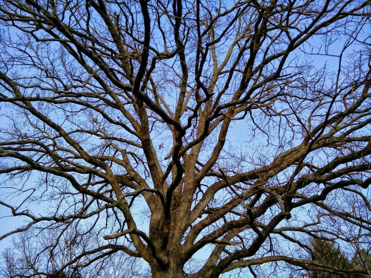 Deep Woods The Woods TreePorn Tree And Sky Tree Silhouette Natural Wonder Fractal Beauty Big Tree Old Oak Tree Blue Sky