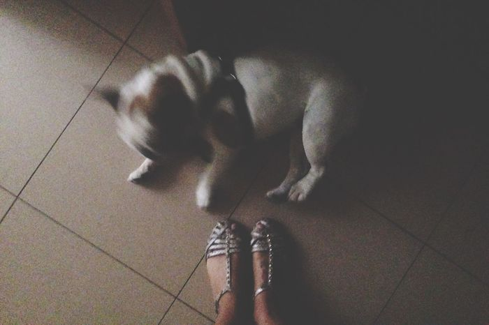 Levantarse Arriba Bella Bulldog