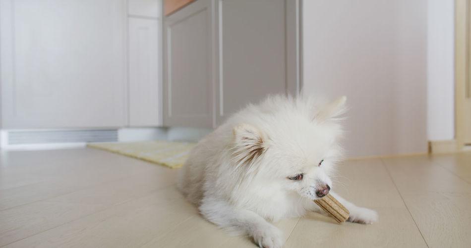 White dog lying on floor at home