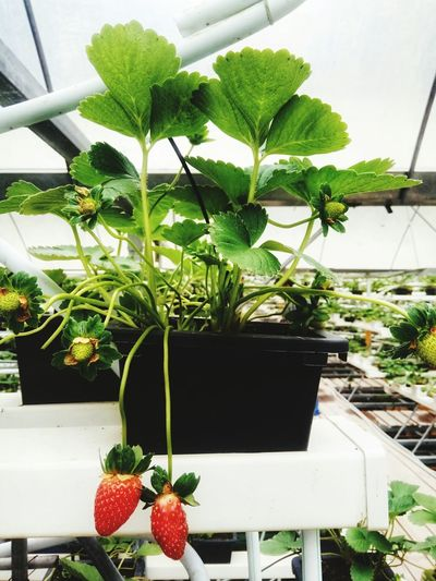 the red strawberries Strawberry House Nature Strawberries Green Strawberry Plant Greenhouse Flower Fruit Potted Plant Plant Close-up Horticulture Plant Nursery Flower Pot Plant Life Citrus Fruit Gardening Botany Flower Shop Satoyama - Scenery