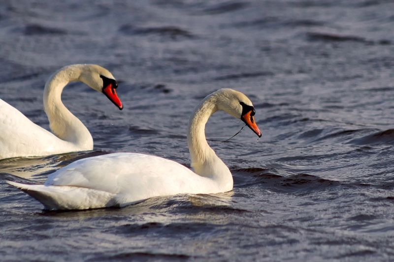 Bird Swan Animals In The Wild Nature Swimming Animal Themes Water Lake Mute Swan Animal Close-up Floating On Water Water Bird No People Day Beauty In Nature Outdoors