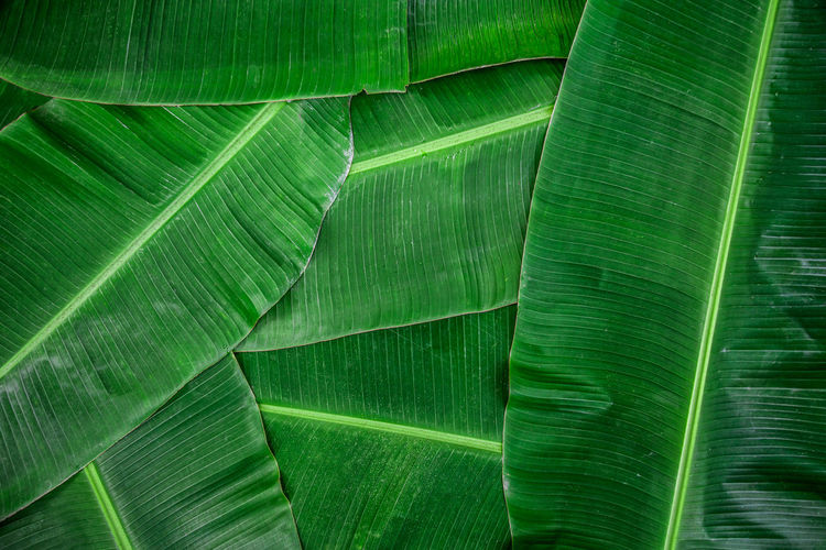Banana leaf green color abstract background.